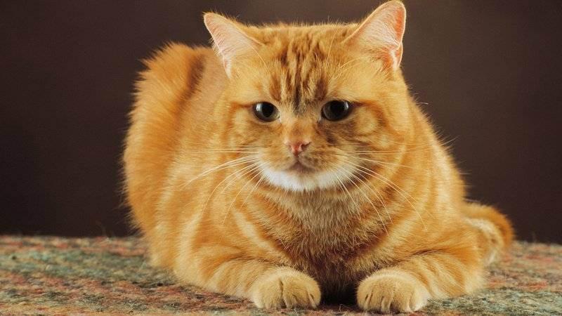 У шотландской или британской кошки понос: причины и лечение. что делать, если обнаружили у котенка недержание кала? почему у кота непроизвольное выходит кал