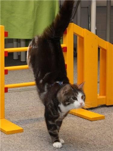 Как дрессировать кошку и кота?
