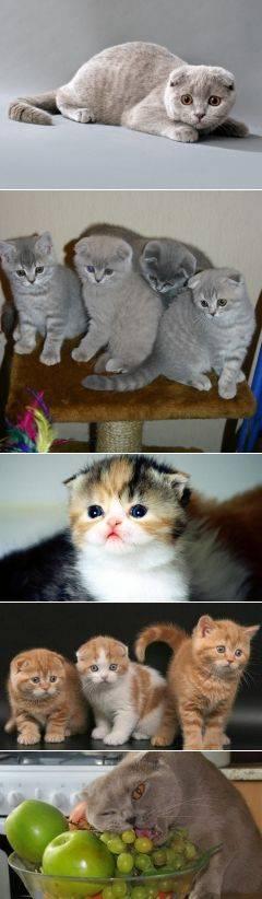 """Котёнка какой породы лучше выбрать: """"британца"""" или """"шотландца""""? шотландская или британская кошка — какая лучше?"""