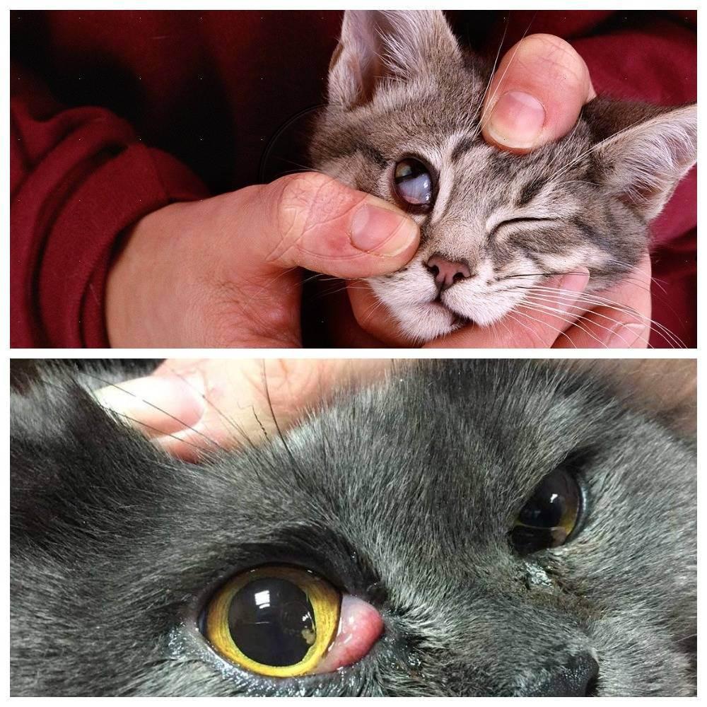 Третье веко у кота: как проявляется, что делать, как лечить