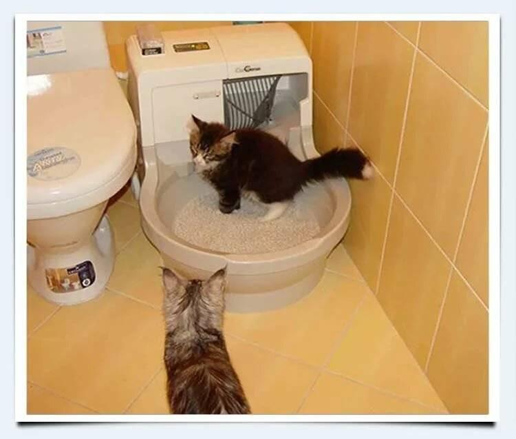 Почему котенок мяукает когда ходит в туалет?