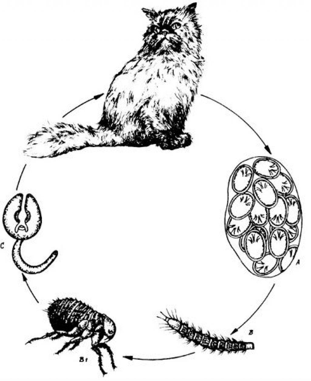 Ленточные глисты у кошек: симптомы заражения, лечение и профилактика