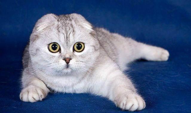Как выбрать имя для шотландского котенка