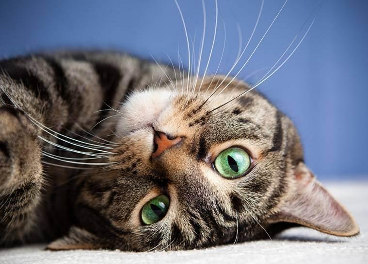 Сколько раз в день необходимо кормить кошку? как надо кормить взрослую и старую кошку или животное возрастом 1 год? особенности правильного кормления, объем в сутки