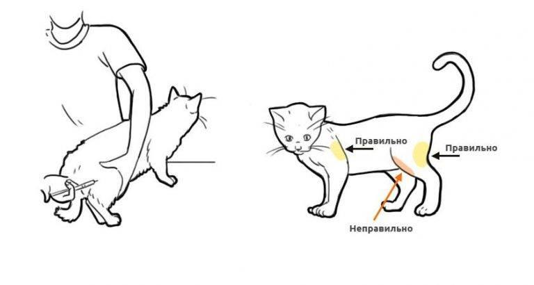 Как сделать укол коту внутримышечно, подкожно и внутривенно в домашних условиях?