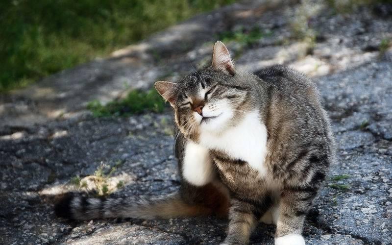 Перхоть у кошки. причины ее возникновения, профилактика и лечение