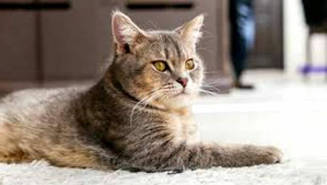 Стерилизация кошки на дому: лапароскопия, отзывы, как ухаживать