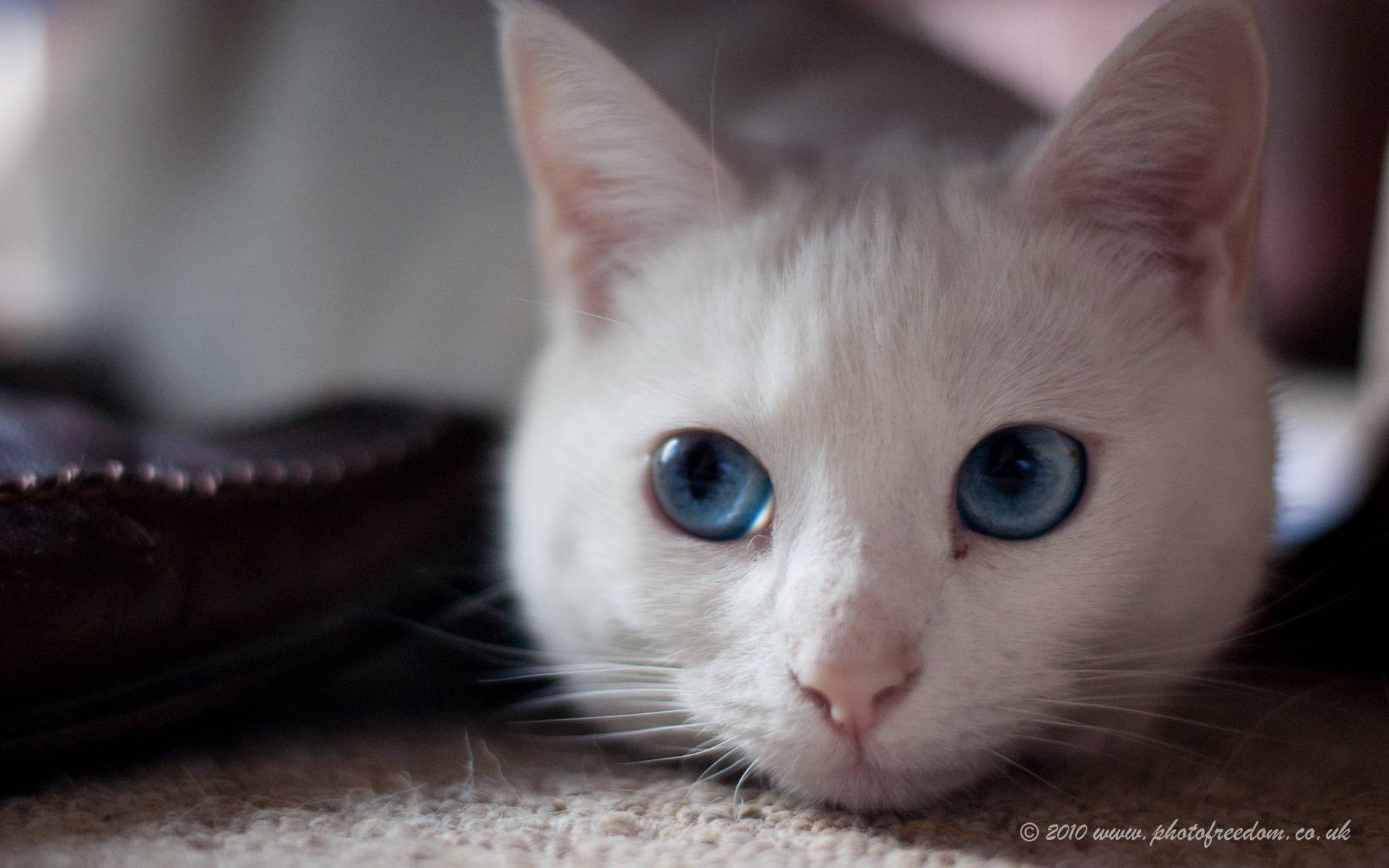 Серые кошки: воплощение стиля и элегантности