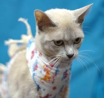 Кошка после стерилизации. уход за кошкой после стерилизации