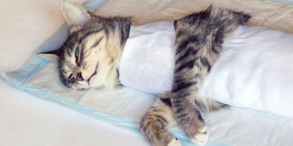 Восстановление кошки после операции по стерилизации и особенности поведения: сколько дней и как проходит реабилитация?