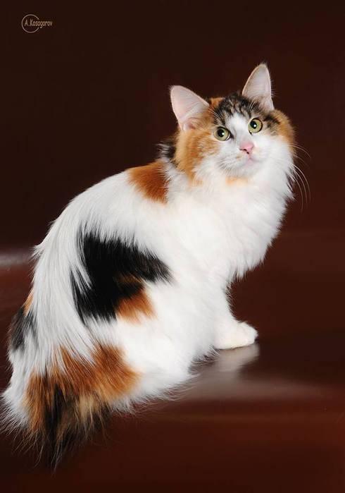 Трёхцветная кошка: живой талисман на удачу