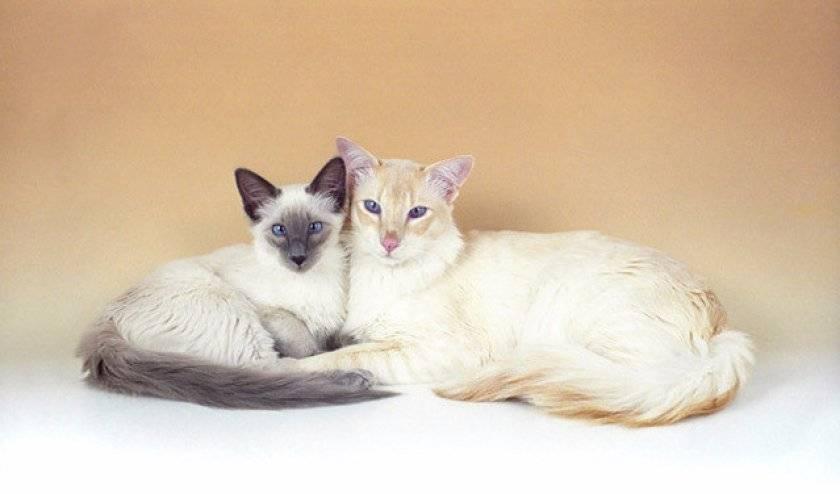 Балийская (балинезийская) кошка - происхождение, особенности поведения и содержание | породы кошек