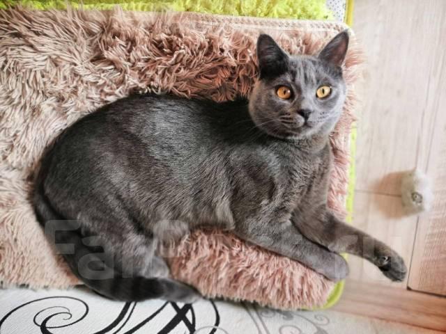 Когда и в каком возрасте лучше кастрировать британского кота