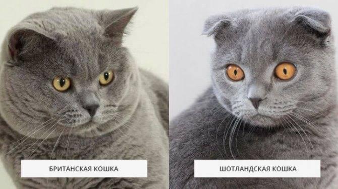 Чем отличаются британские кошки от шотландских: информация от эксперта