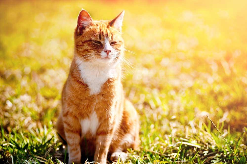 Тепловой удар у кошки: симптомы и оказание помощи – болен кот