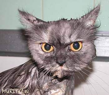 Как помыть кота, если он боится воды и царапается? причины и признаки боязни воды. какие приспособления необходимы в этом случае?