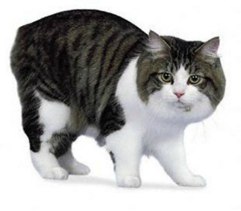 Порода кошек кимрик