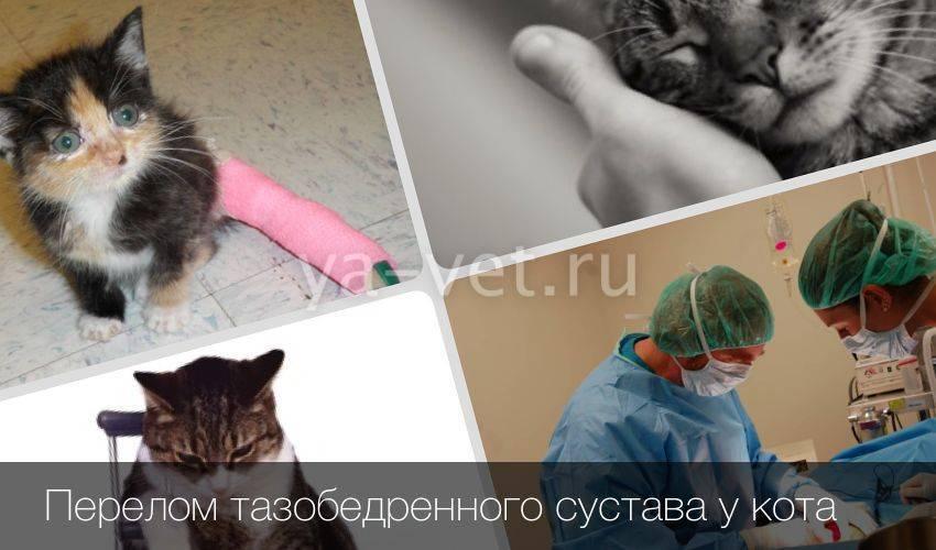 Признаки перелома тазобедренного сустава у кошек