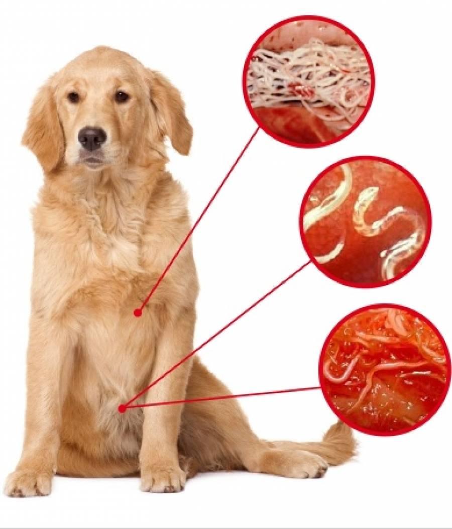 Можно ли заразиться глистами от кошки: виды гельминтов, способы лечения и меры профилактики