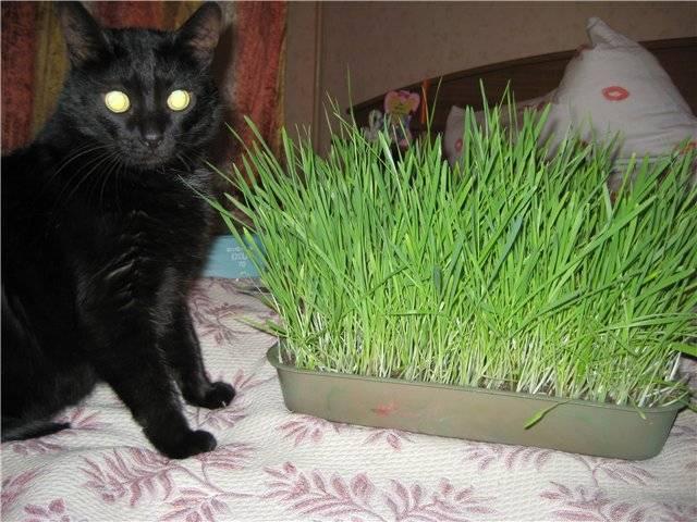 Как вырастить траву для своих животных? трава для кошек от авитаминоза. как посадить дома любимую траву для кошек