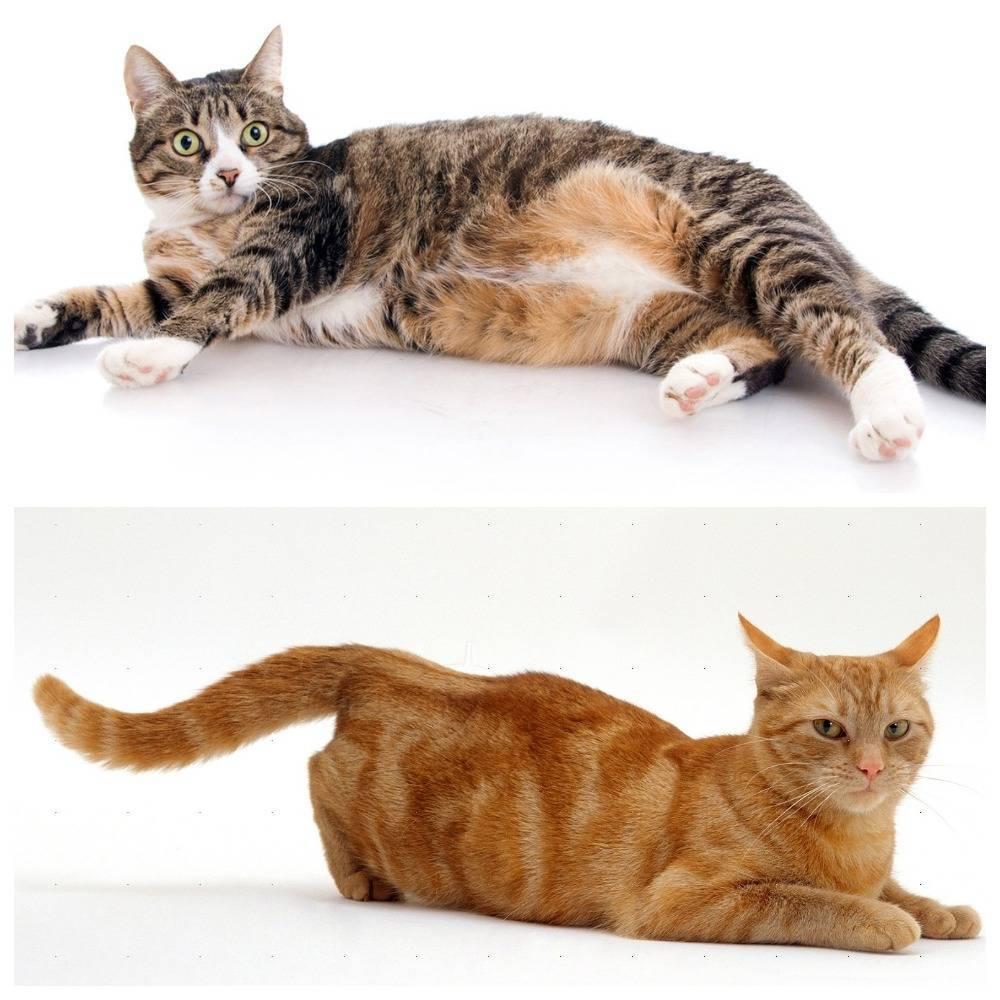 Что делать, если кошка загуляла и хочет кота: как успокоить в домашних условиях, что дать кошке, чтобы не просила, капли от хотения, помочь народными средствами, как облегчить страдания во время течки
