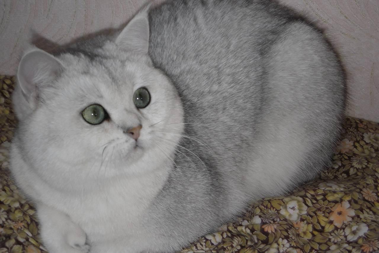 Шиншилла – кошка с редким и ценным окрасом шерсти, разновидности, породы, уход