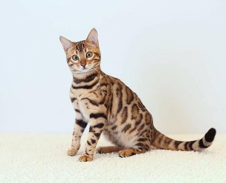 Бенгальская кошка: история возникновения, особенности молодой домашней породы