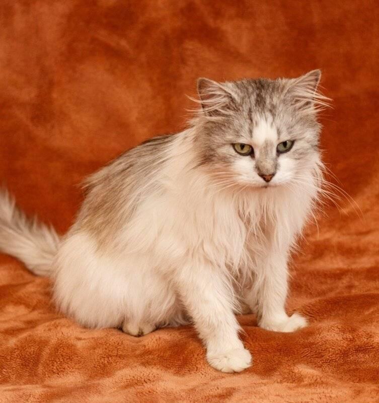 Пушистые кошки: породы и особенности ухода за длинношёрстным котом, отзывы владельцев и фото
