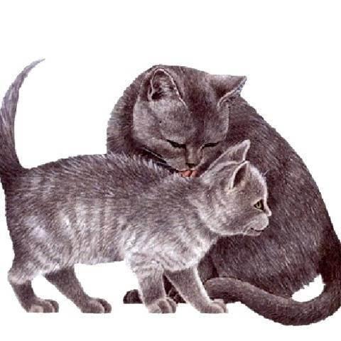 Как и чем кормить котенка британца: меню по возрастам