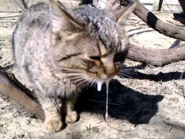 Как у кошек передается бешенство