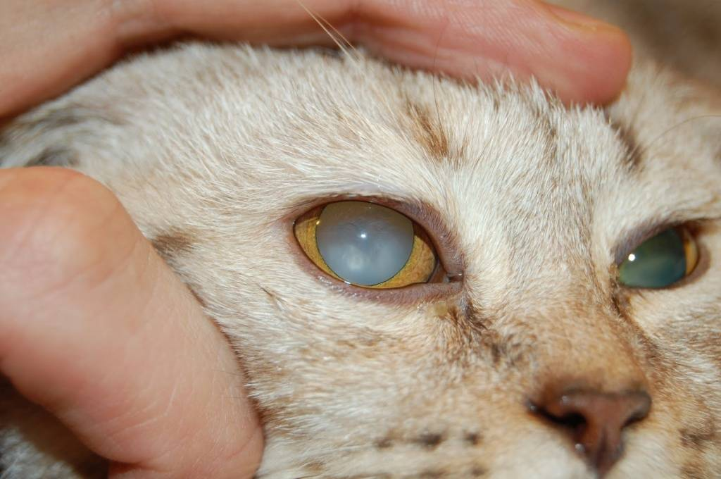 У котенка гноятся глаза: причины и соответствующее лечение