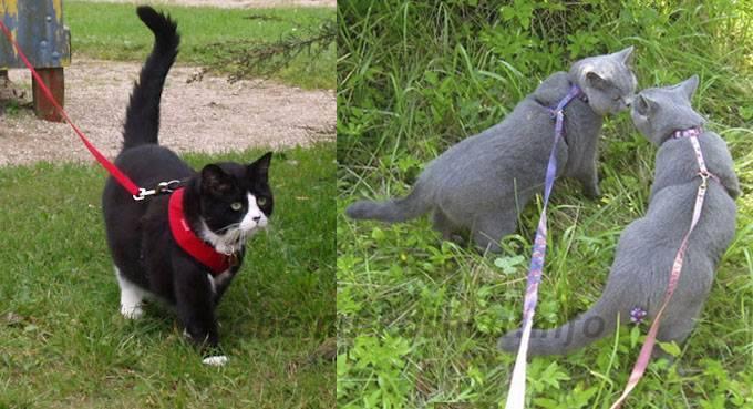 В каком возрасте кошка начинает гулять, когда наступает половая зрелость? сколько гуляют кошки, сколько дней, когда начинают гулять кошки