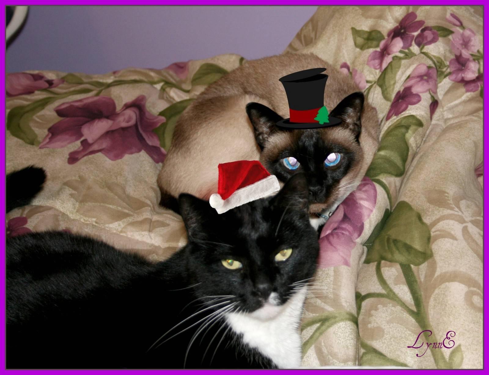 Сколько лет живут сиамские кастрированные коты - кошки и собаки