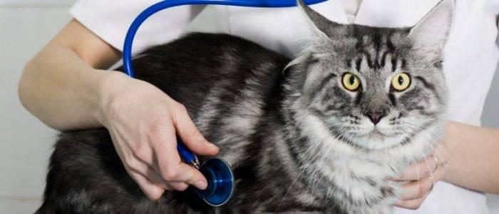 Когда кастрировать мейн-куна: оптимальный возраст животного и необходимость операции