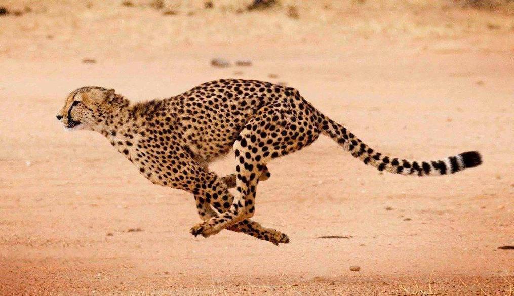 Топ-6 самых быстрых кошек в мире