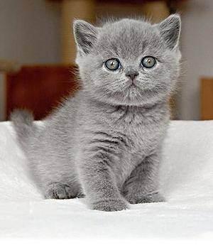 Чем кормить британских котов? что едят кошки британской породы в домашних условиях? правильное питание британцев