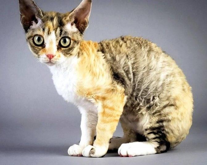 Девон-рекс (25 фото): описание породы, цена котенка, советы по содержанию, питомники