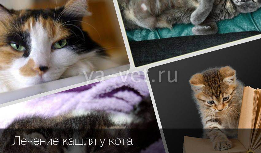 Кошка кашляет и хрипит: причины, диагностика, лечение