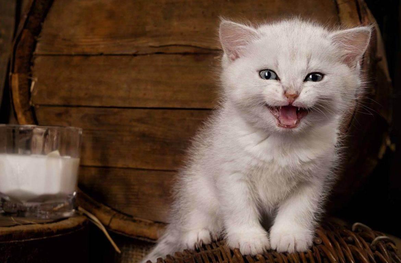 Можно ли кормить месячного котенка сметаной. рацион для котенка — каким он должен быть