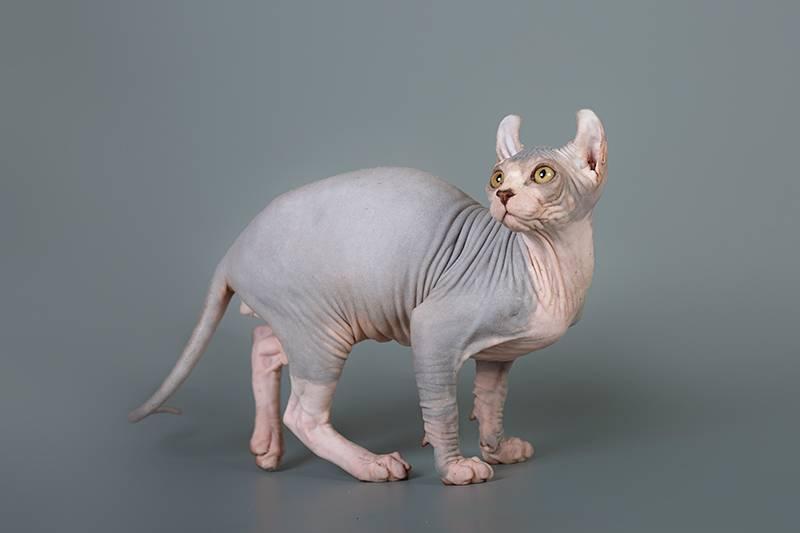 Кельтская кошка: описание породы