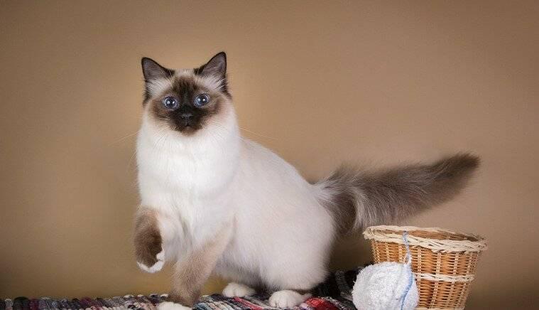 Особенности содержания и воспитания бирманской кошки, отличительные черты характера