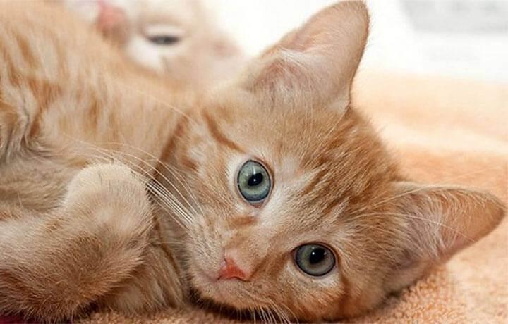 Имена для котят девочек и мальчиков пушистых, вислоухих, разноцветных