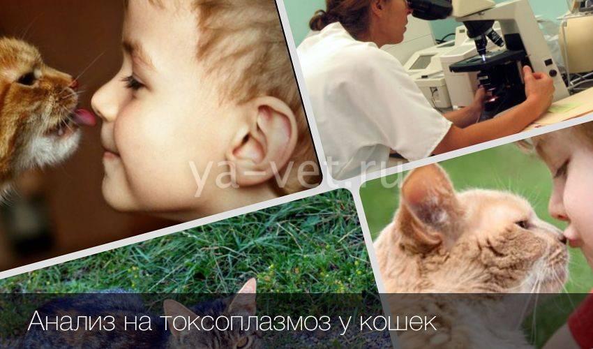 Симптомы и лечение токсоплазмоза у кошек