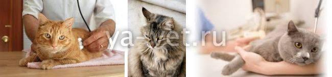 Причины возникновения мастопатии у кошек и её лечение