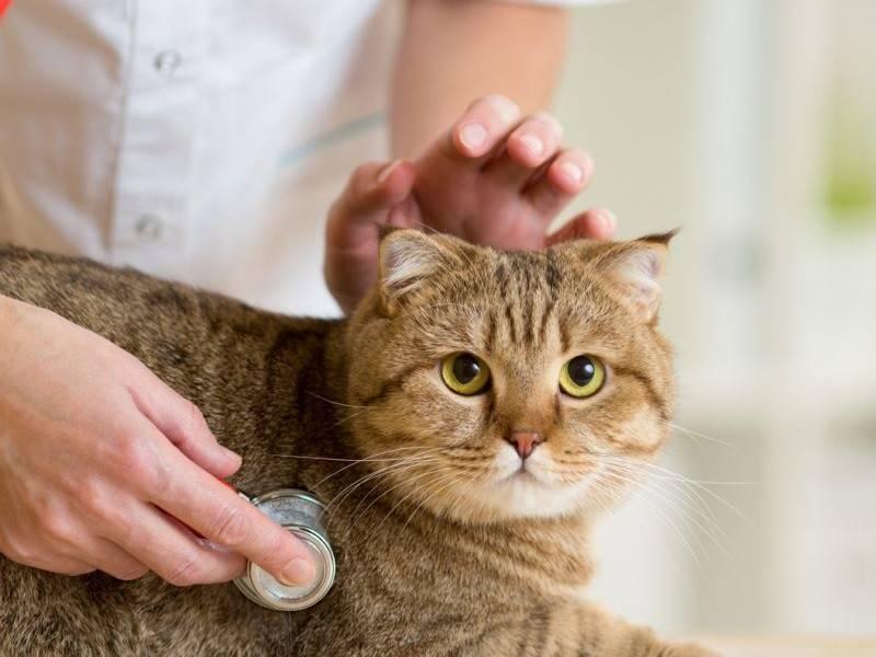 Почему котенок или взрослый кот может чихать и кашлять, чем лечить в домашних условиях?