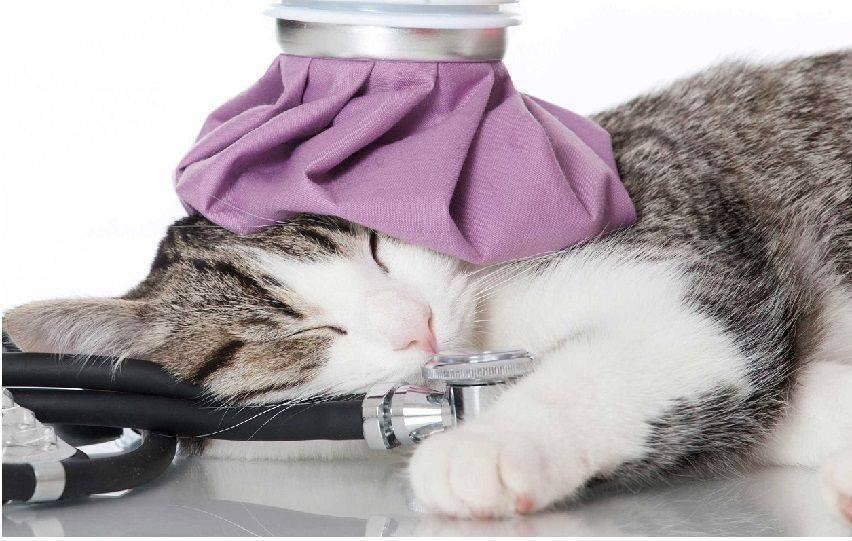 Как измерять температуру тела у кошки
