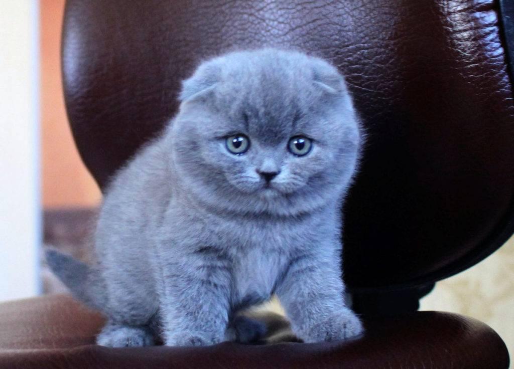 Британцы коты сколько живут