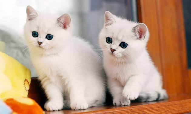 Чем кормить британского котенка, питание шотландских и британских котят, еда для котят, сколько еды давать котенку | кошки - кто они?