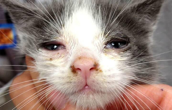 Хламидиоз у кошек и котов (с фото): симптомы, лечение