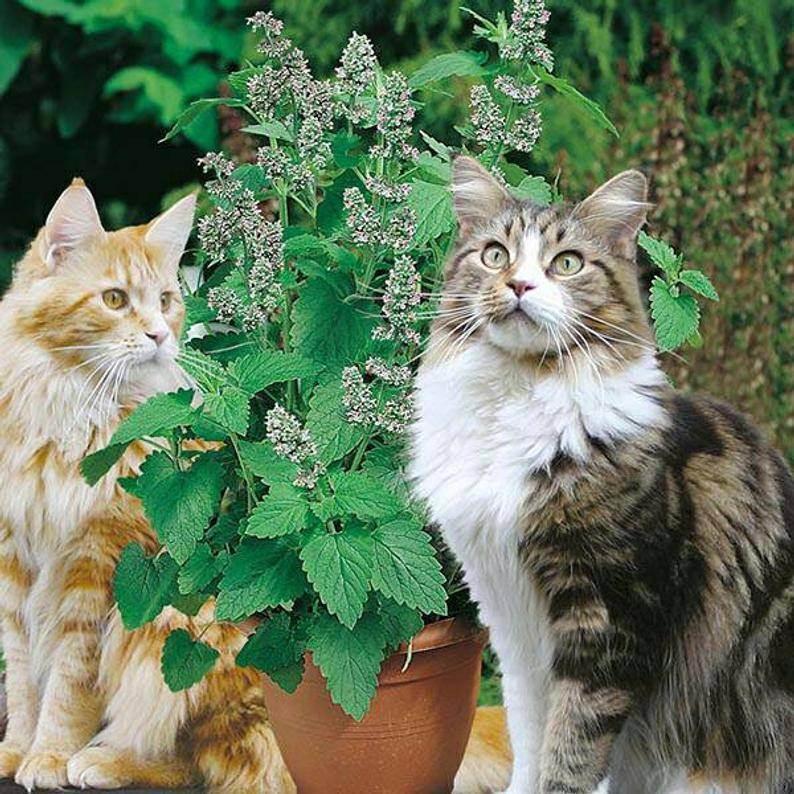 Почему коты любят валерьянку и стоит ли ее давать?